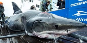 Was it the Messianic Leviathan That Munched on an Oversize Great White Shark's Head?